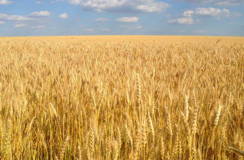 قیمت خرید عمده گندم تضمینی وارداتی