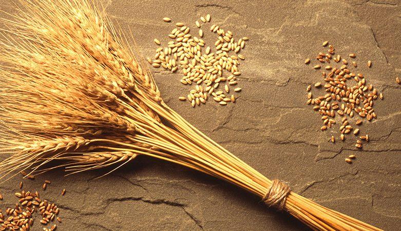 خرید بذر گندم اصلاح شده در تهران
