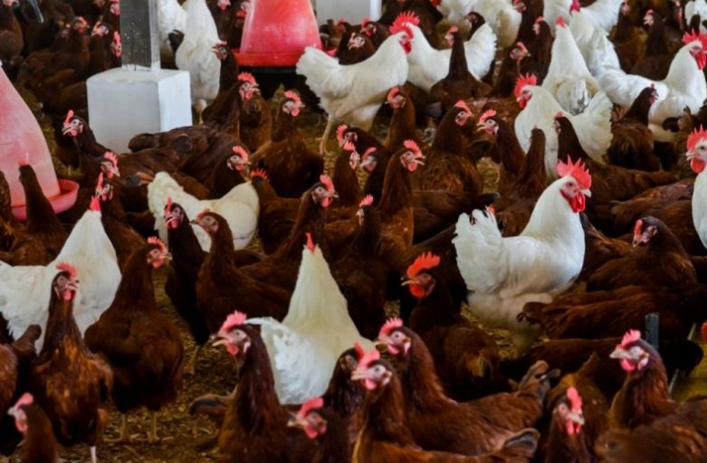بازار بهترین خوراک طیور تخمگذار